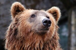 avoiding bears