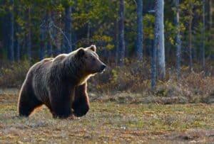 bear walking in woods