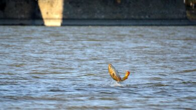 Photo of Why Do Carp Jump? Interesting Facts