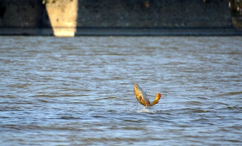 carp jumping out of water