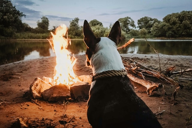 dog keeping warm by campfire