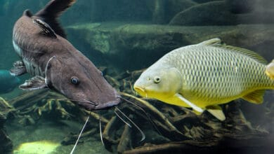 Photo of Carp vs Catfish – What's The Difference?