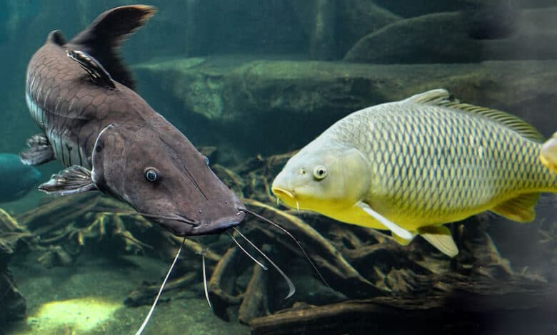 carp vs catfish